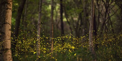 Fireflies Are in Danger of Extinction, Thanks to Humans