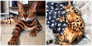 thor the bengal cat
