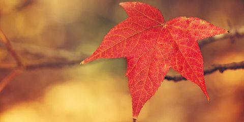 Leaf, Red, Deciduous, Colorfulness, Woody plant, Carmine, Autumn, Close-up, Twig, Macro photography,