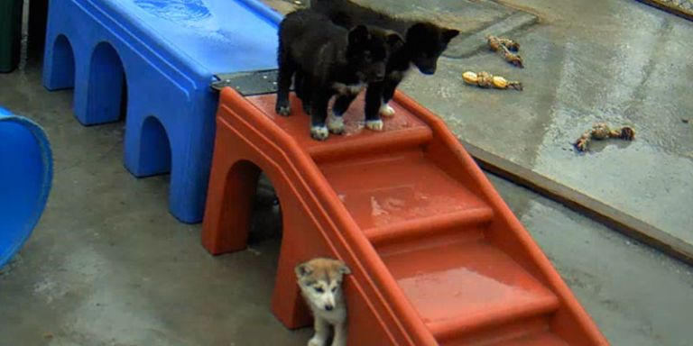 You Can Watch Alaskan Sled Dog Puppies Play All Day Long