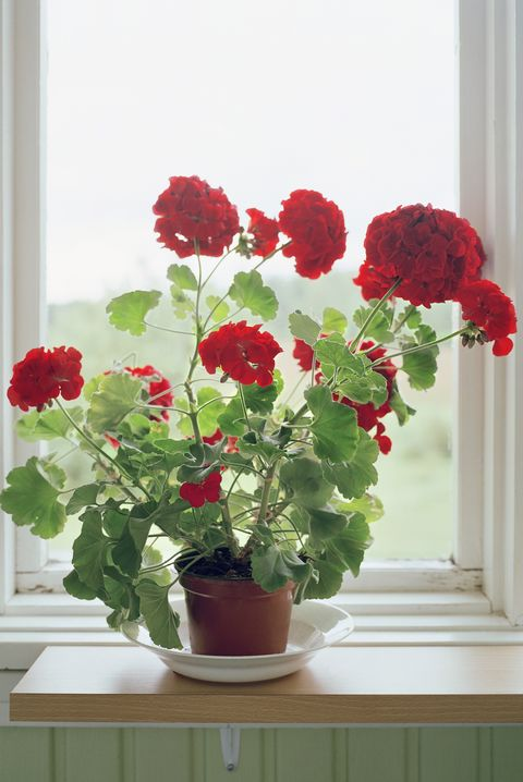 Flower, Red, Houseplant, Flowerpot, Plant, Flowering plant, Window, Petal, Artificial flower, Annual plant,