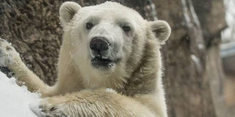 Watch What This Polar Bear Cub Does After Huge Snow Storm Shuts Down Oregon Zoo