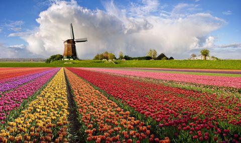 Windmill, Sky, Field, Flower, Tulip, Spring, Plant, Cloud, Rural area, Farm,