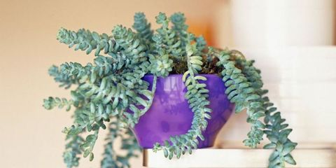 18 strange houseplants weirdest indoor plants donkey tail mightylinksfo