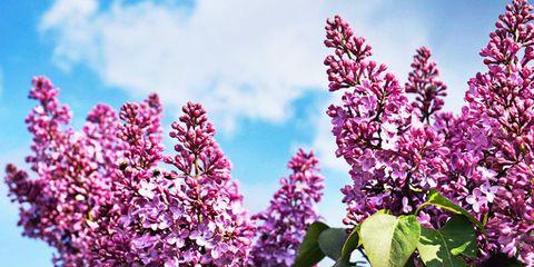 Flower, Flowering plant, Lilac, Plant, Pink, Lilac, Purple, Spring, lilac, Violet,
