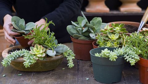 How to Grow Succulents Indoors and Outside