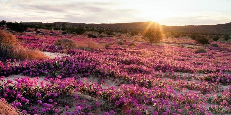 Anza Borrego Desert Flowers Anza Borrego Desert