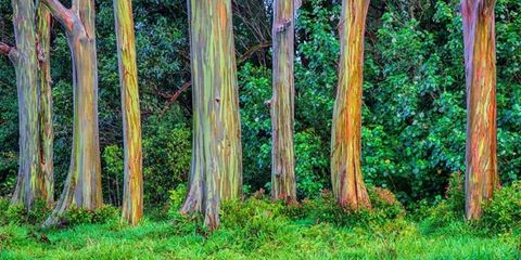 The Rainbow Eucalyptus Is the Most Colorful Tree on Earth
