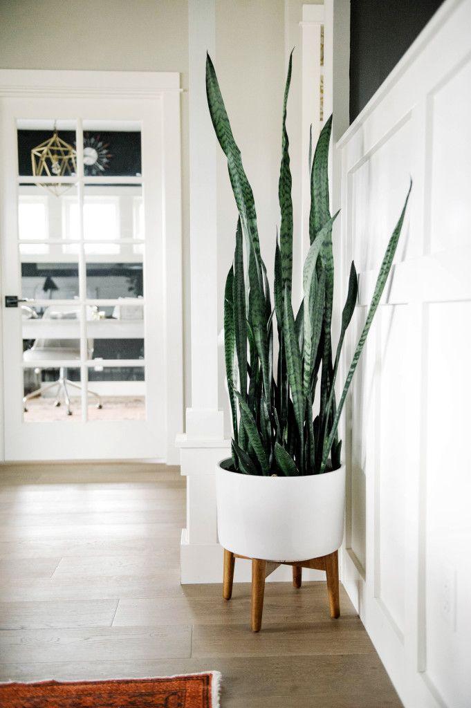 Oversized House Plants - Large Indoor Plants