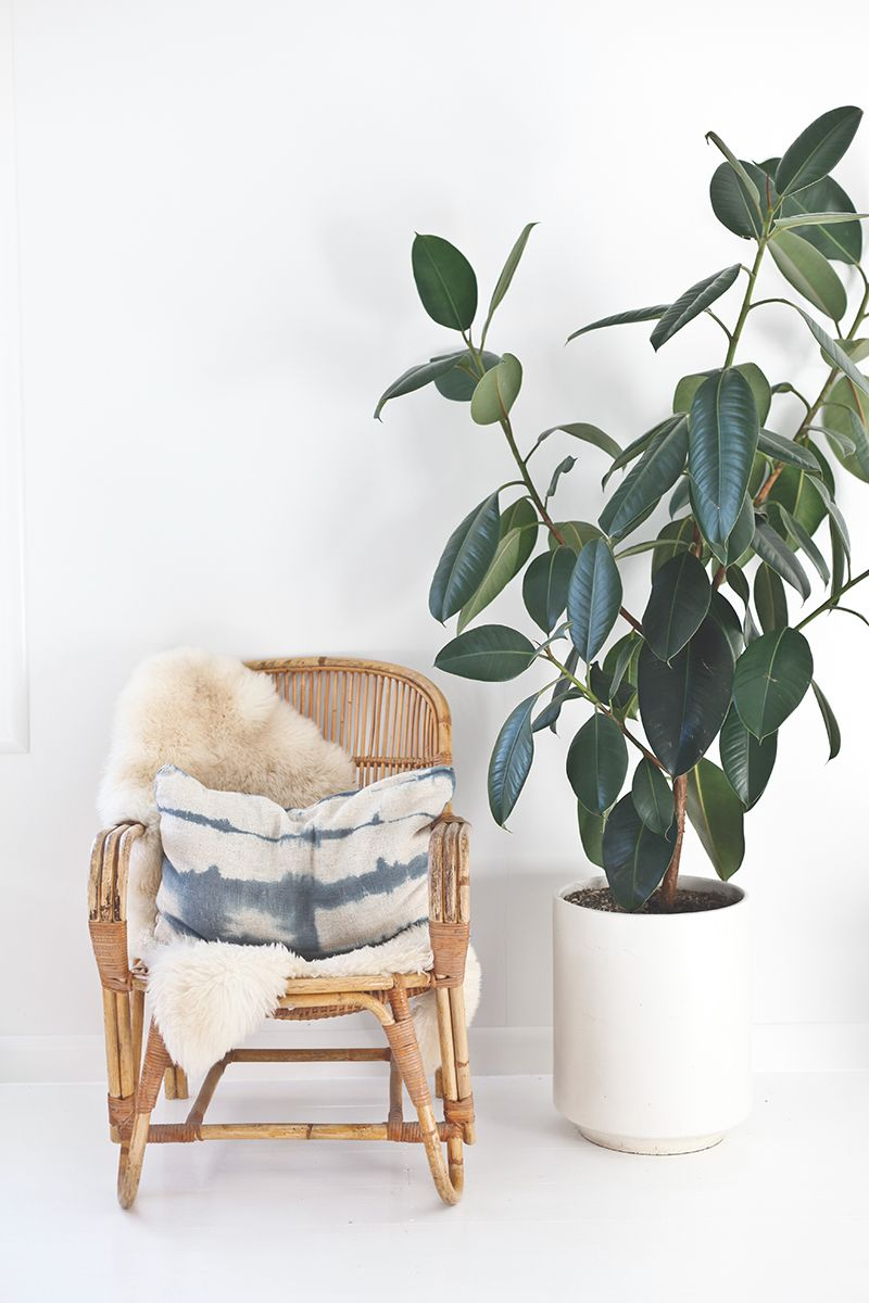 Oversized House Plants - Large Indoor Plants