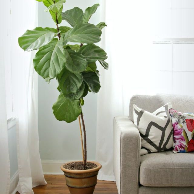 Best Alternatives To Fiddle Leaf Fig Trees