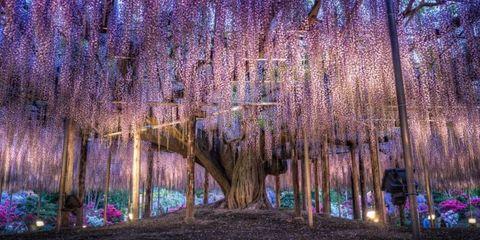Purple, Lavender, Violet, Majorelle blue, Wisteria, Woodland, Grove,