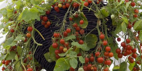 Fruits, Veggies and Herbs You Can Grow in Baskets