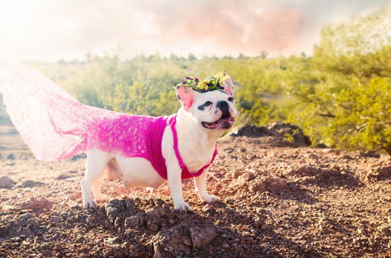 French Bulldog Photo Shoot Pregnant Dog Poses Cute Pics