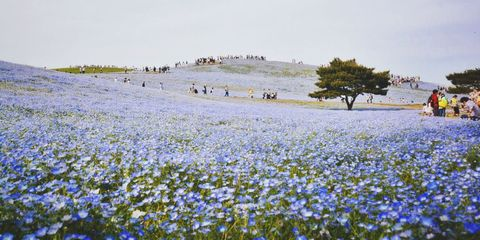 blue flower bloom in Japan