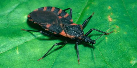 "Watch Out for These Dangerous ""Kissing Bugs"" in Your Home"
