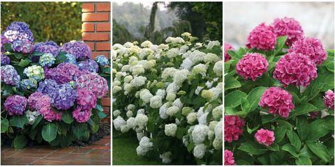 Flower, Flowering plant, Hydrangeaceae, Hydrangea, Plant, Shrub, Landscaping, Cornales, Annual plant, Shrub,