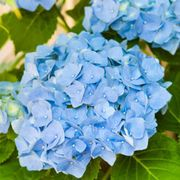 Blue, Flower, Leaf, Annual plant, Hydrangeaceae, Hydrangea, Cornales, california lilac, Viburnum, Moschatel family,