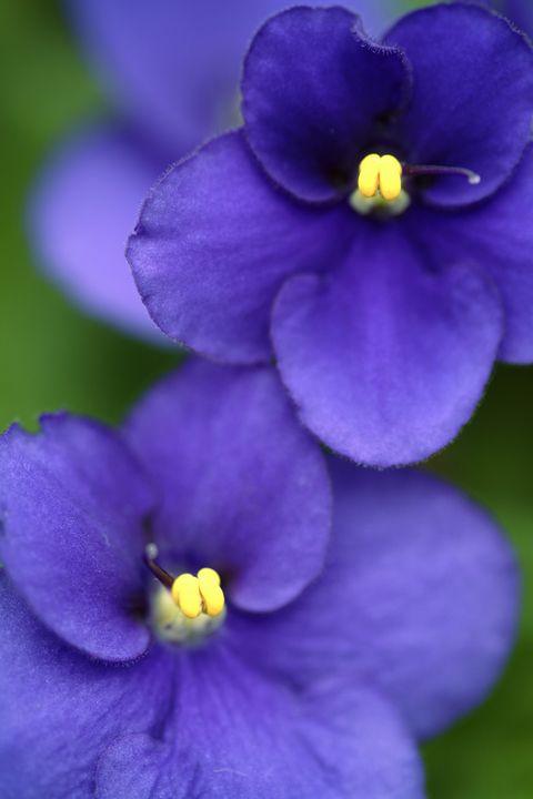 Flowering plant, Petal, Flower, Violet, Blue, Purple, Plant, Viola, Violet family, Dayflower family,