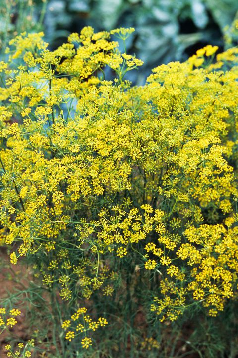 Yellow, Flower, Shrub, Subshrub, Groundcover, Wildflower, Mustard and cabbage family, Mimosa, Forb, Goldenrod,