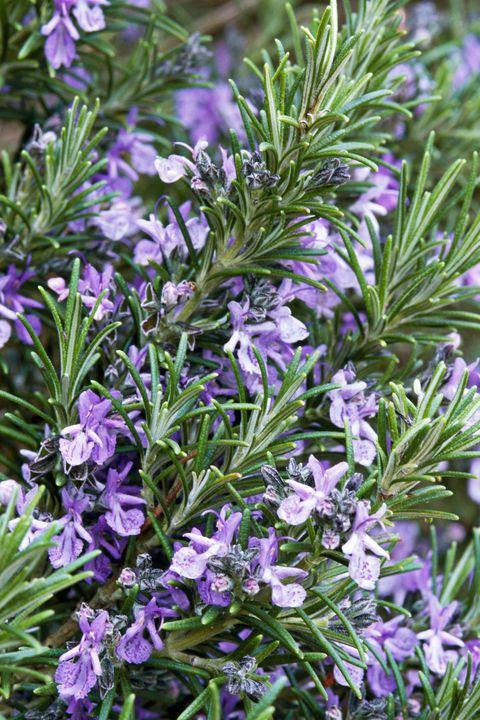Flower, Flowering plant, Plant, Rosemary, Subshrub, Herb, Purple, Lavender, Groundcover, Spring,