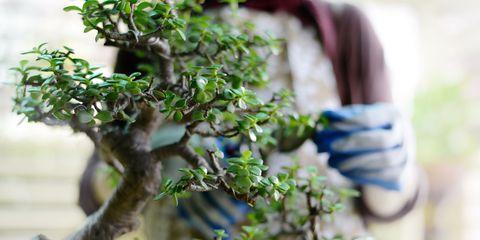bonsai gardening