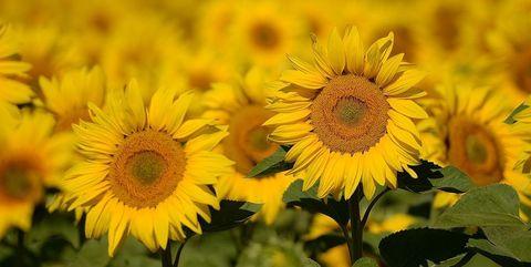 Flower, Sunflower, Flowering plant, Yellow, sunflower, Plant, Field, Sky, Petal, Asterales,