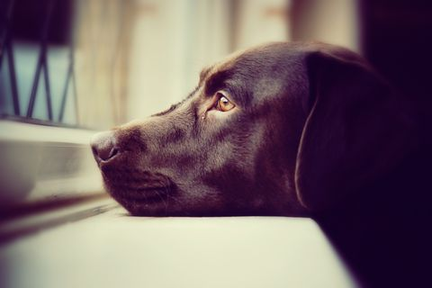 Brown dog waiting at window for owners - close up
