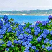 Flower, Flowering plant, Blue, Plant, Hydrangeaceae, Hydrangea, Violet, Purple, california lilac, Cornales,