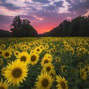 Flower, Sunflower, Plant, Field, Natural landscape, Yellow, Sky, sunflower, Flowering plant, Plantation,