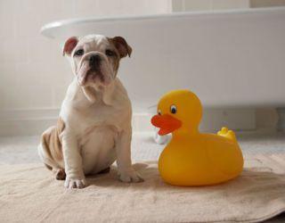 bulldog puppy with rubber ducky next to bathtub