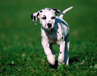 dalmation puppy running on grass