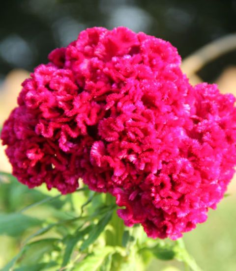 cockscomb flowers