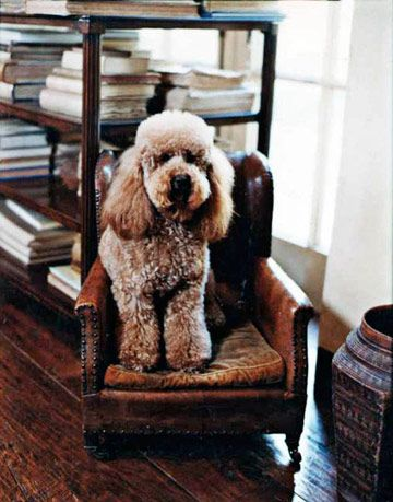 poodle in tiny chair