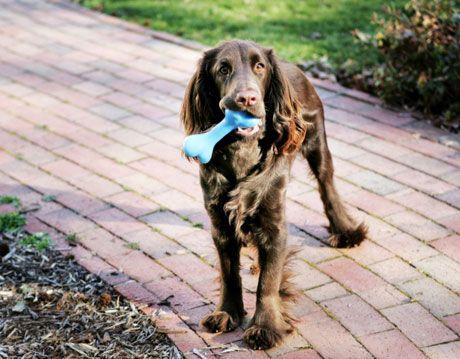brown dog with blue bone on brick walkway