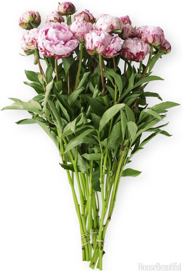 peony flower care peony season - How To Cut Peonies