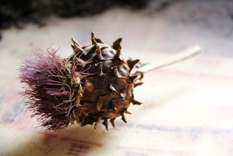 cardoon seeds
