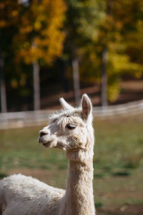 "<p><strong>Haper's BAZAAR: How did you and your husband get into the alpaca business? </strong></p><p><strong>Alicia Adams: </strong>Both Daniel and I wanted a change in our lives and our 3 children at the time were still very young and not in school yet, so it was the perfect time to start something else. The first idea was to make wine. My husband traveled to Australia to look at vineyards and wineries. After 24 hrs of his arrival, he ""met"" alpacas for the very first time. They captured his interest. Upon his return he told me about how fascinating he thought these camelids were and he wanted to build a breeding program. So we moved to Millbrook. Why Millbrook? because we (I am  Mexican/German and my husband is  German/American) wanted to be located half way between Europe and Mexico. We wanted to be near enough to NYC and were looking for a great community to raise our children and breed our alpacas. Millbrook is so diverse, uniting people from all over the world and so very cosmopolitan.</p>"