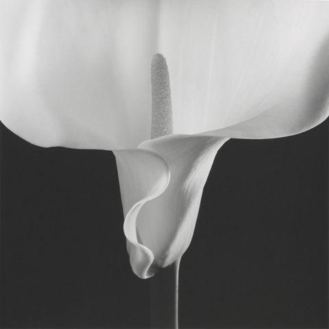 <p><em></em><em>Calla Lily</em>, negative 1988; print 1990 </p>