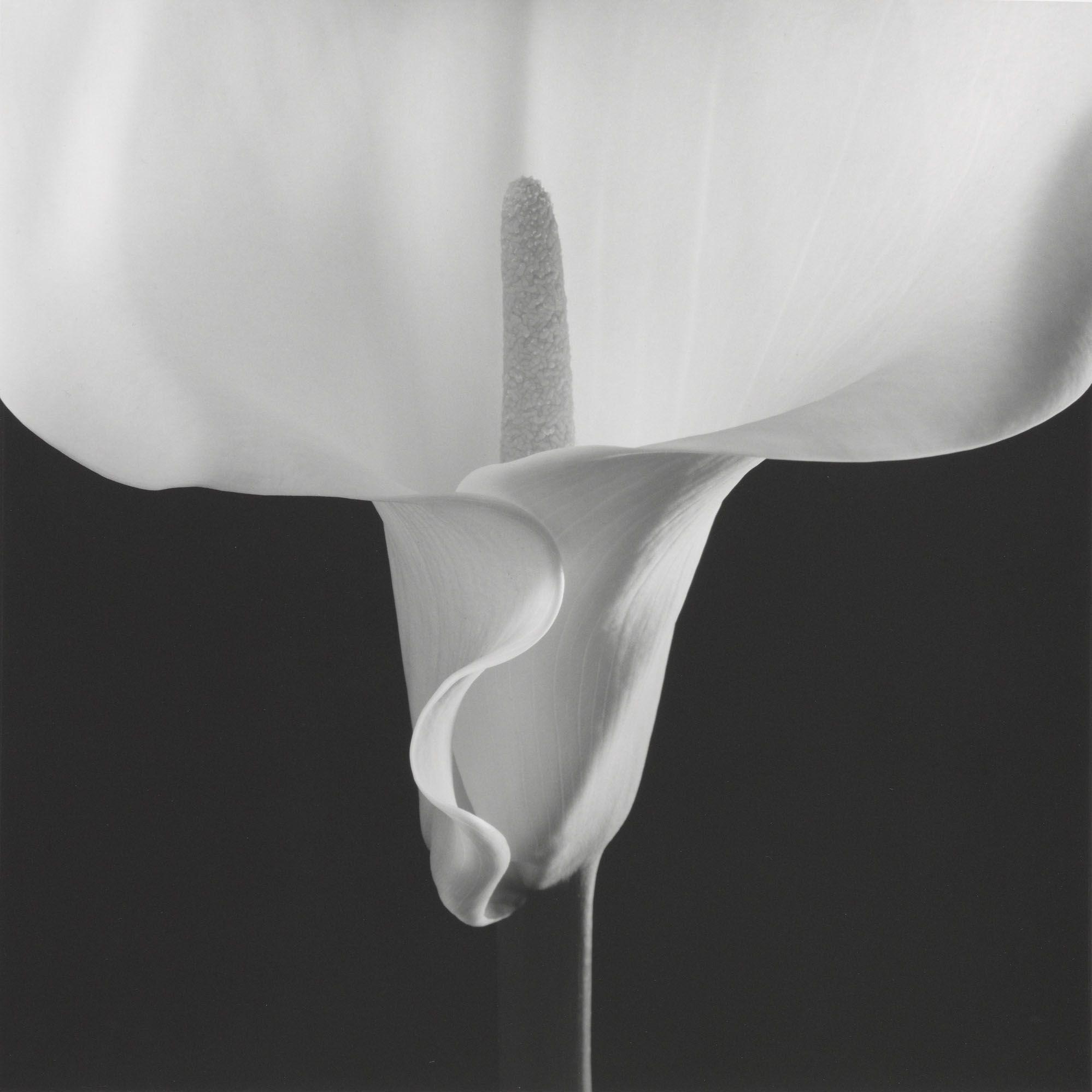 <p><em></em><em>Calla Lily</em>, negative 1988&#x3B; print 1990 </p>