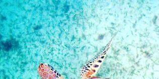 Organism, Fluid, Natural environment, Turtle, Sea turtle, Vertebrate, Aqua, Hawksbill sea turtle, Adaptation, Kemp's ridley sea turtle,