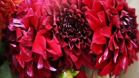 Petal, Red, Flower, Pink, Colorfulness, Magenta, Carmine, Close-up, Annual plant, Floristry,