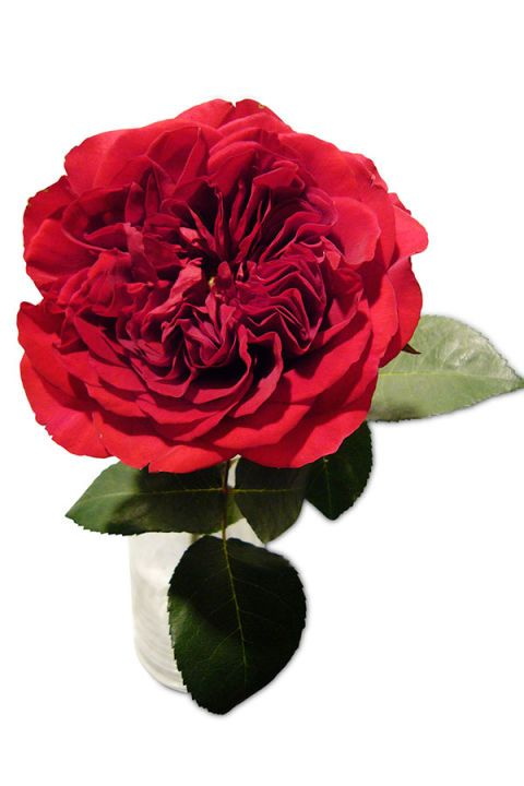 Petal, Flower, Red, Colorfulness, Pink, Botany, Flowering plant, Rose family, Carmine, Rose order,