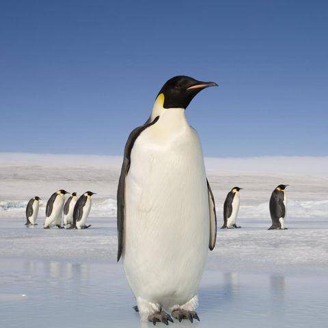 Penguin, Organism, Daytime, Natural environment, Bird, Beak, Vertebrate, Standing, Flightless bird, Photograph,