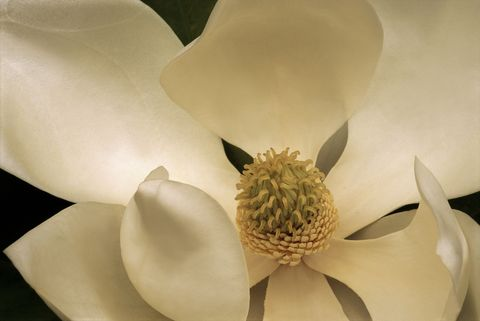 Southern magnolia flower.Magnolia grandiflora.This tree has adapted well to southern California's maritime climate.Buena Park, California, USAPhotographed under controlled conditions35mm film-horizontalModel Release: Not Applicable