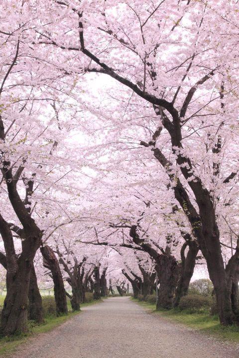 <p>Japan hoort sowieso in deze lijst (want: betoverend mooi), maar als je dan toch gaat, dan hopen wij dat je dat doet tijdens het bloesemseizoen. Gedurende een paar weken kleuren de talrijke kersenbomen Japan roze. Een prachtig gezicht.</p>