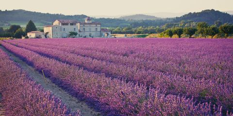 Lavender, Field, Lavender, Flower, English lavender, Purple, Plant, Flowering plant, Farm, Violet,
