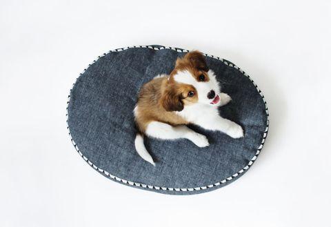 Canidae, Dog, Puppy, Carnivore, Companion dog, Sporting Group, Border collie, Dog breed, Spaniel, Kooikerhondje,