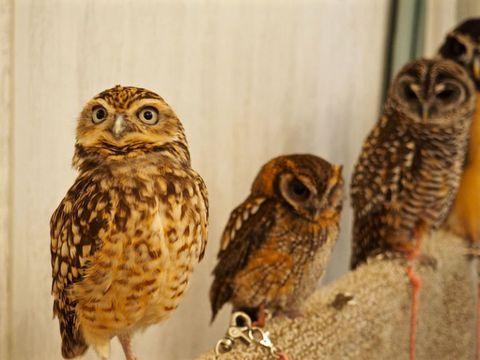 Brown, Organism, Bird, Owl, Vertebrate, Iris, Beauty, Adaptation, Neck, Beak,