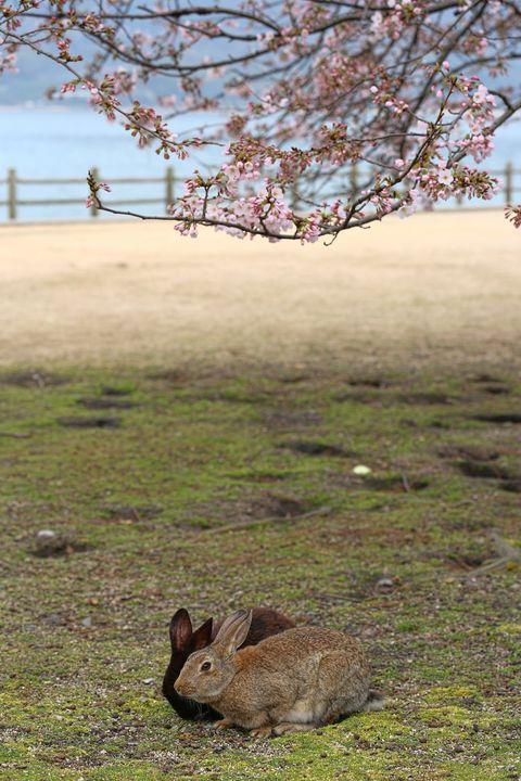 日本兔子島,日本狐狸島,日本貓島,青島,愛媛縣,日本兔子島怎麼去,日本狐狸島怎麼去,日本貓島怎麼去,日本兔子島交通,日本狐狸島交通,日本貓島交通